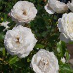 白色のおすすめのバラの種類はコレ!