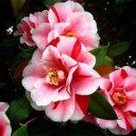 椿の八重咲きの種類の一覧まとめ