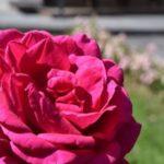 バラの人気の種類の名前や特徴をご紹介!