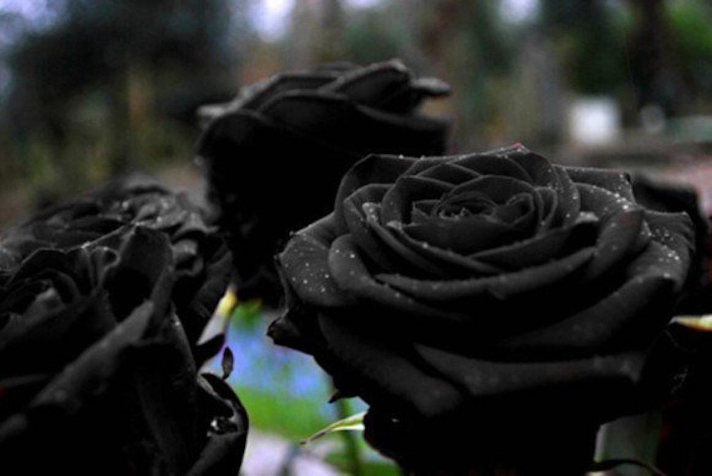 薔薇 黒 品種