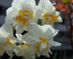 水仙 香り 品種
