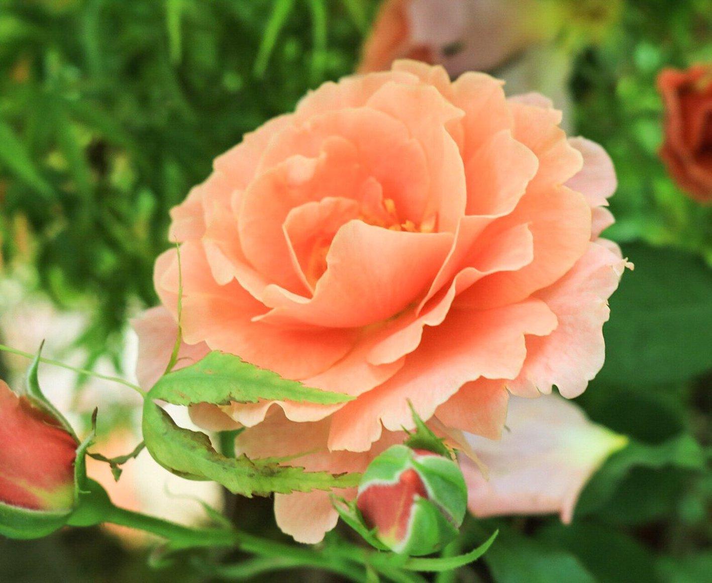 薔薇 名前 和名