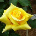 ノックアウトとはどんな種類のバラ?