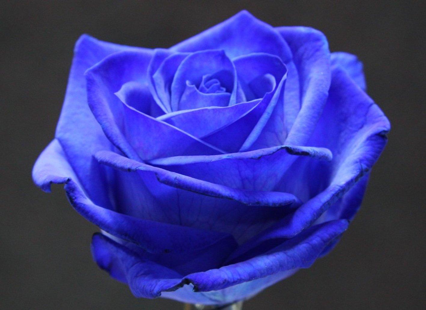 バラ 青 品種