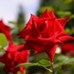 冬のバラの挿し木の方法について