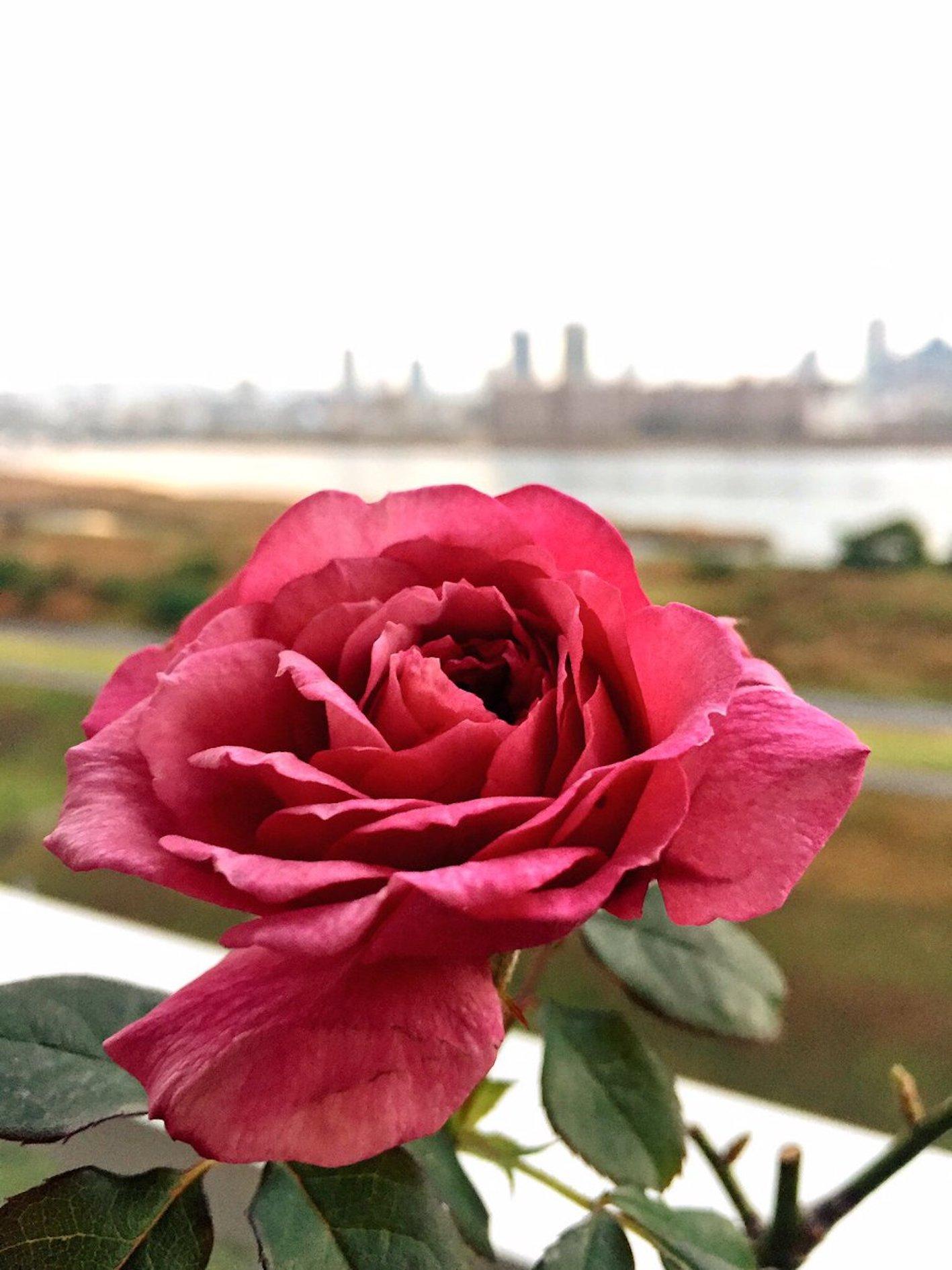 バラ つる性 四季咲き