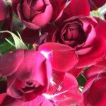 山下公園のバラの開花状況や見頃の時期はいつ!?