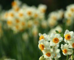 水仙 花 構造