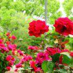 バラのカミキリムシの予防対策方法について