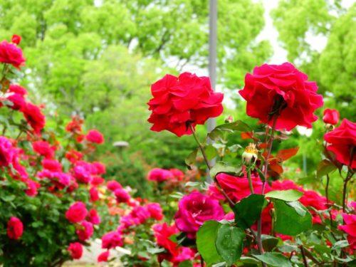 バラ カミキリムシ 予防