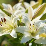 ゆりの花の特徴について。大きさは花びらの枚数は!?