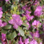 ツツジの花が咲く見頃の季節はいつ!?