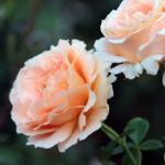 バラの種類ポルカの特徴について