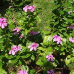 花壇にニチニチソウの寄せ植えを作る方法やコツについて