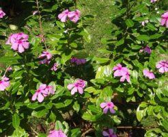 ニチニチソウ 寄せ植え 花壇