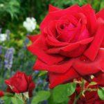 バラの挿し木方法。黒くなる原因や対策法は!?