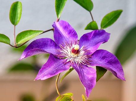 クレマチス 四季咲き 育て方