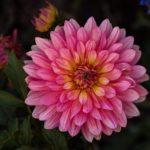 切り花として育てられる人気のダリアの品種は何!?
