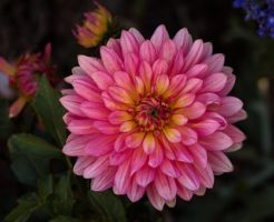 ダリア 切り花 品種