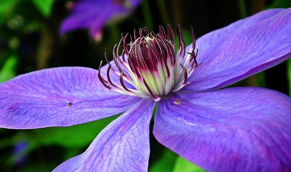 クレマチス 原種 仙人草