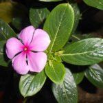 ニチニチソウの花が咲かない原因と対策について