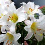 ユリの花を長持ちさせるコツは花粉の処理!?