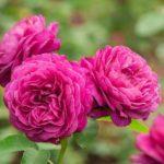 バラの育て方!土壌の消毒方法について