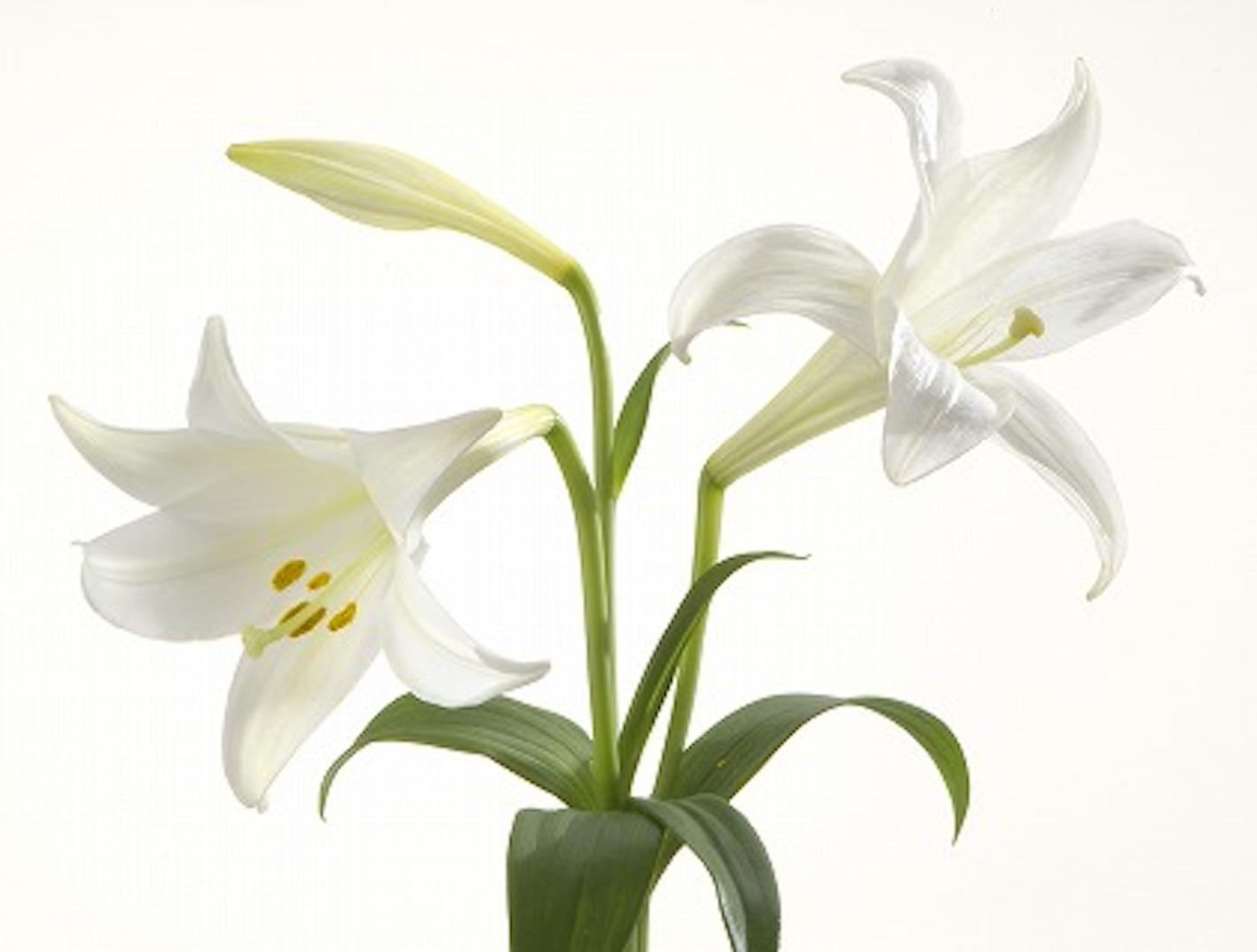 ユリ 花 種類