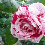 色が綺麗なバラ「センチメンタル」の育て方について