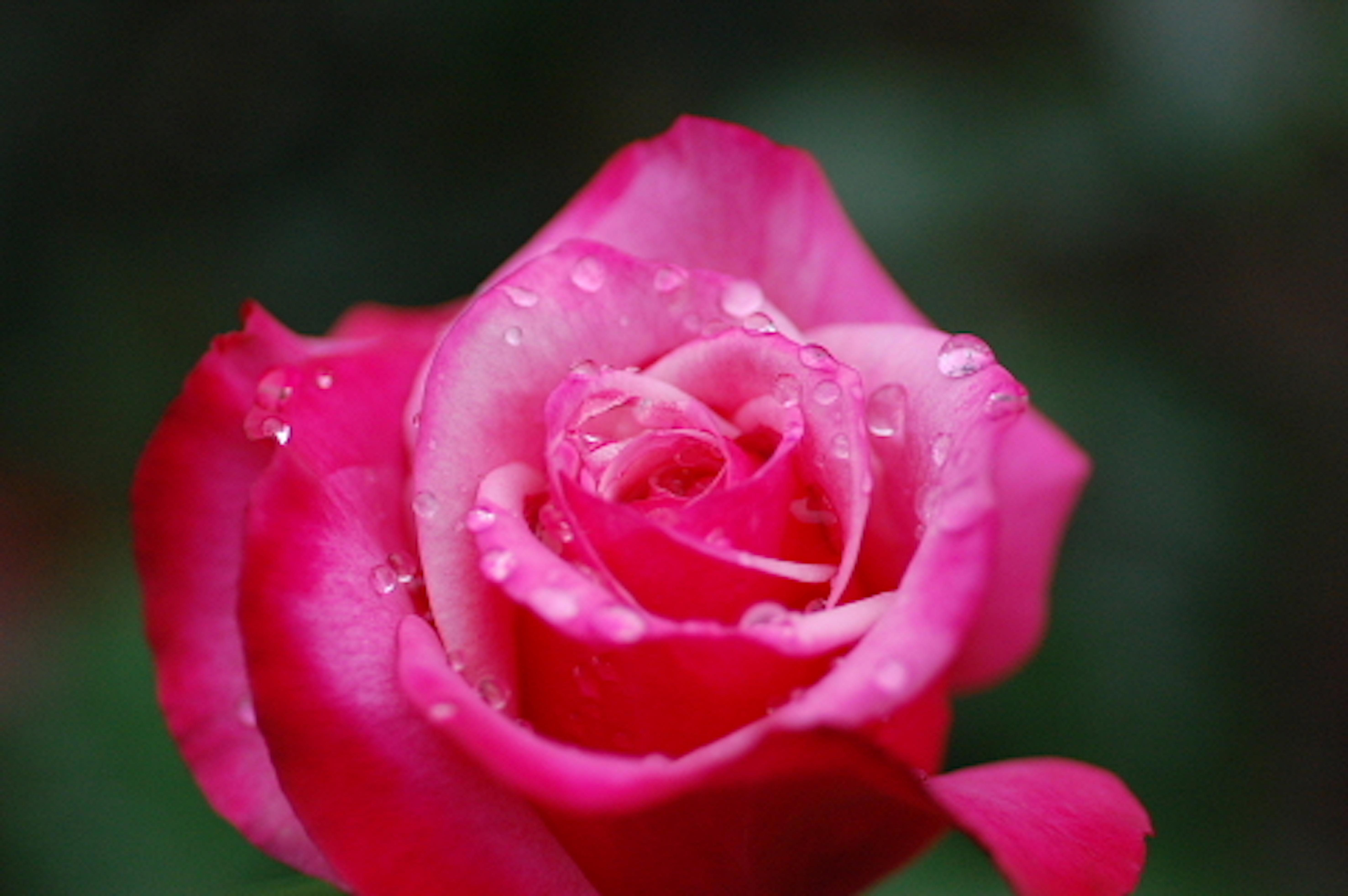 バラ 種類 ピンク