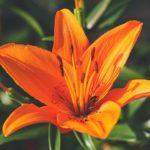 ユリの品種ローズリリーベロニカの育て方について