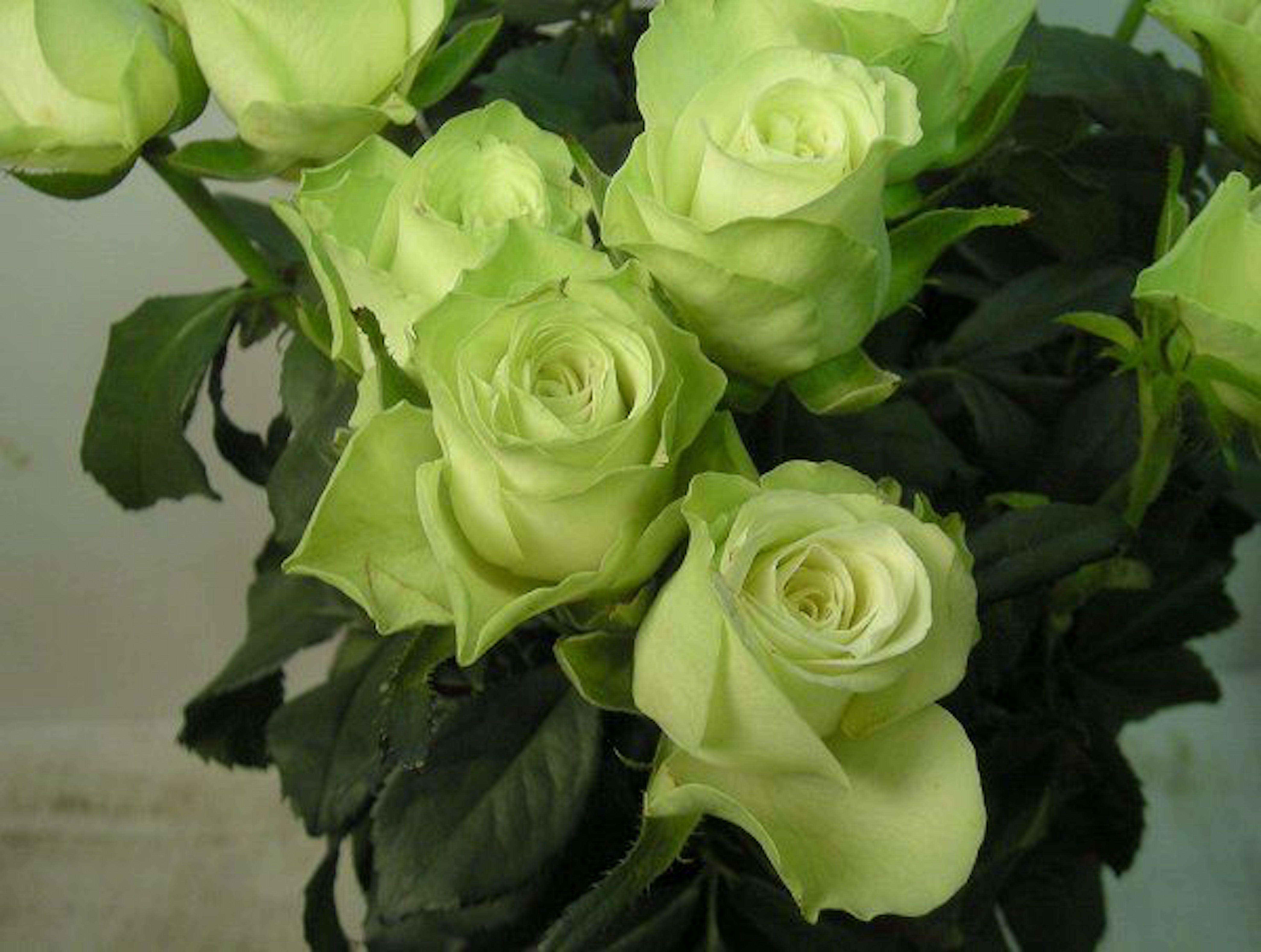薔薇 緑 品種