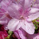 ツツジの花の構造や特徴とは!?