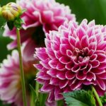 ダリアの切り花を長持ちさせる管理法!水揚げってどうするの?