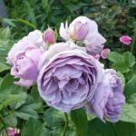 紫色のバラ レイニーブルーの育て方について