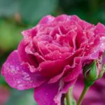 インフィニティってどんなバラの種類?特徴について