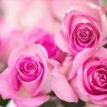 バラの鉢増しの方法。時期はいつ!?