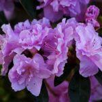 ツツジの花の英語での読み方や意味について