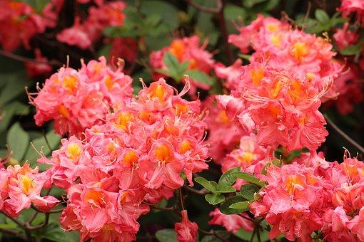 ツツジ 種類 ピンク