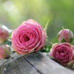 冬はバラにとって大切な時期!水やり、植え替えなどの注意点は!?