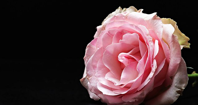 バラ 香り 種類