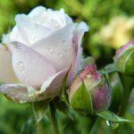 バラにつく毛虫の種類と駆除方法について