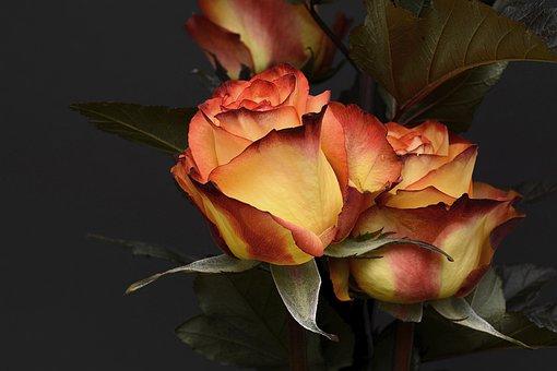 薔薇 夏 葉が落ちる