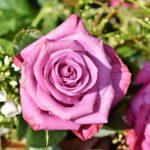 バラの薬剤オルトランの使用頻度や量について