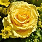 大輪のバラの品種について