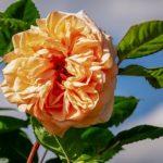 バラの良い新苗の選び方とコツって知ってる?