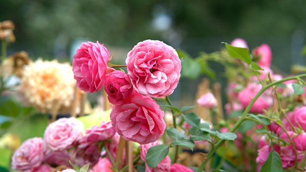 バラ 花壇 作り方