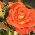 バラの育て方!水やりの頻度や量について