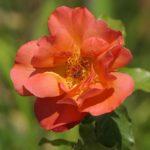 バラの花に発生する虫の種類や特徴について