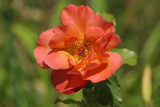 バラ 花 虫